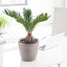 sago palm potted in classico mini planter my city plants