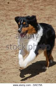 australian shepherd akc daphne is an akc registered purebred australian shepherd puppy 8