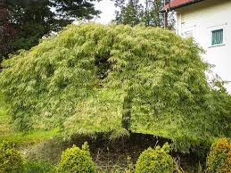 weeping japanese maple viridis for sale the tree center