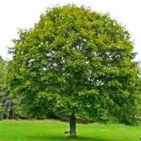 silver maple one of the fastest growing windbreak trees you can