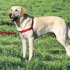 Halo For Blind Dogs Buy Easy Walk Dog Harness Only 17 75 At Pet Expertise