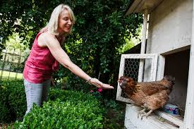 dealing with the urban chicken houston chronicle