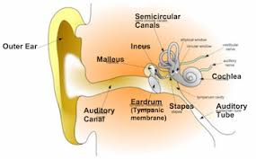 semicircular canals function u0026 definition video u0026 lesson