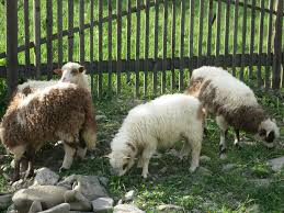 sheep breeds for fiber meat or dairy countryside network