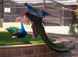 Wagga Wagga Botanical Gardens Peacock Fight In Flight Picture Of Wagga Wagga Botanic Gardens