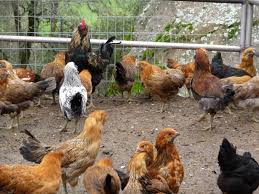 what chickens lay colored eggs when the chickens come home to