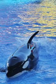 48 best killer whale images on pinterest killer whales orcas