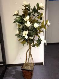 magnolia tree 6 u0027 ivory indoor plants