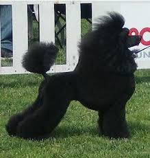 different toy poodle cuts poodle cuts for dogs poodle cuts pictures of different poodle