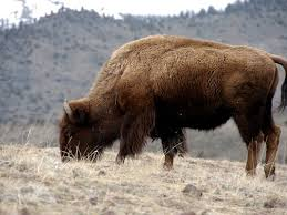 Bison Connect Department Of Interior President Obama Signs Bill Declaring The Bison The National Mammal