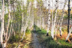 birch full hd wallpaper photo