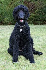 standard poodle hair styles haircut styles
