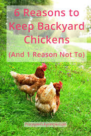 Caring For Backyard Chickens by 6 Reasons To Keep Backyard Chickens And 1 Reason Not To