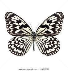 white butterfly stock images royalty free images vectors
