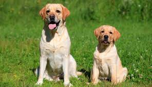 shades of yellow labradors