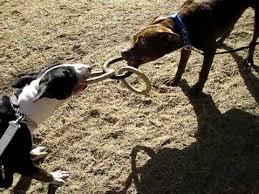 american pitbull terrier z hter deutschland bull terrier vs pit bull youtube