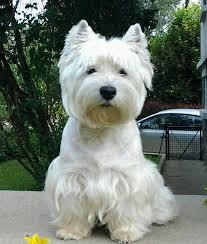 images of westie hair cuts image result for westie hair cuts dogs dogs health pinterest