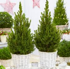 deal pair of contemporary trees in festive white baskets