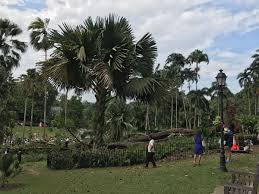 Botanical Gardens In Singapore by Singapore 1 Dead 4 Injured After Massive Tembusu Tree Crashes