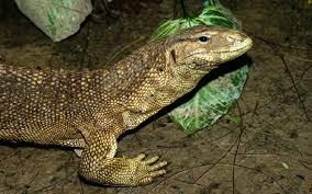 Seeking Lizard Monitor Lizards Are Up In Trafficking Scheme Nrdc