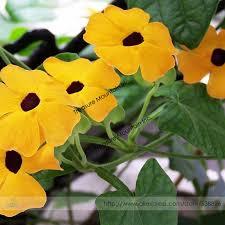 Morning Glory Climbing Plant - aliexpress com buy heirloom yellow orange white u0027dream u0027 morning
