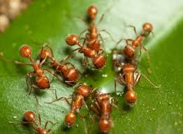 vegetable gardening how can i kill red ants without poisoning my