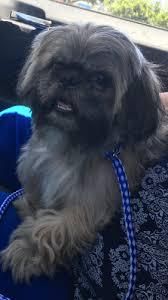 affenpinscher texas lost and found pets