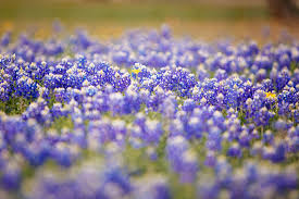 bluebonnet season came early in texas this spring the new york times