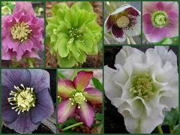 dividing hybrid hellebores carolyn u0027s shade gardens