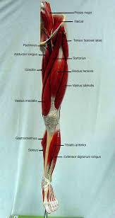 Anatomy And Physiology The Muscular System Biol 160 Human Anatomy And Physiology