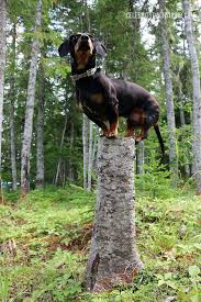 396 best dogs images on pinterest weenie dogs sausage dogs and