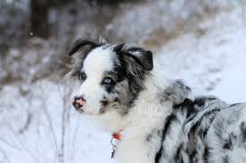 7 month old australian shepherd puppy 7 month old great pyrenees u0027s aussie shepherd mix u003d animals