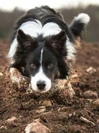 australian shepherd x border collie puppies best 25 border collies ideas on pinterest border collie border