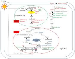 frontiers impacts of high atp supply from chloroplasts and