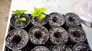 how to pot up your seedlings bare root and baby plants youtube