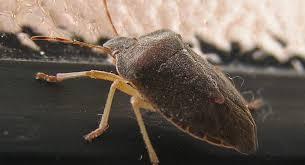 was ist das für ein insekt eine wanze oder was urlaub insekten die insekten kommen russische stadt im wirbel der wanzen
