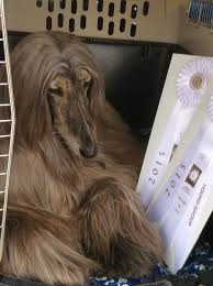 afghan hound group jolie afghan hounds news