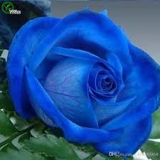 2017 beautiful blue rose seeds bonsai seeds garden plants flower