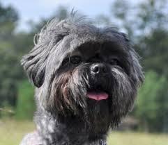 affenpinscher texas ryan barker is an adoptable lhasa apso dog in houston tx u201cit u0027s a