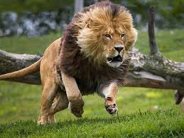 male lion wallpapers wait come back stalking is such a strong word leo brand