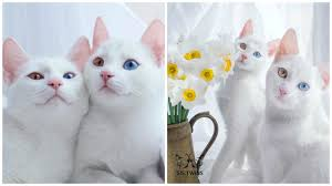 these twin cats are identical in every way they u0027re also the most