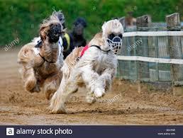 afghan hound speed greyhound racing afghan hound stock photo royalty free image