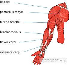 The Human Anatomy Muscles Human Anatomy Diagram This Understanding Human Arm Anatomy Human