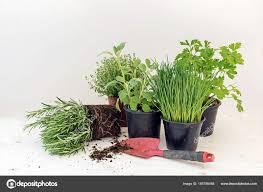 herbe cuisine plantes d herbe cuisine dans des pots comme le romarin thym persil