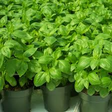 plants that keep mosquitoes away 8 plants in ghana you can grow at home for a mosquito free life
