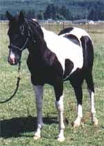 equusite com coat colors and patterns paint and pinto horse color
