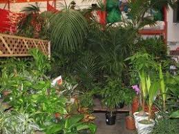 indoor palms selecting and caring for these popular houseplants
