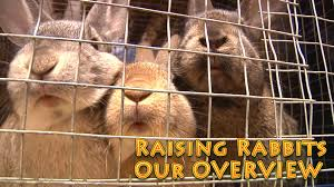 raising rabbits overview rabbits for food production youtube