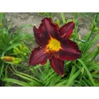 day lilies daylilies by color
