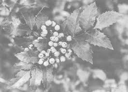 canadian native plants traditional plant foods of canadian indigenous peoples nutrition